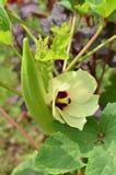 Красивый цветок бамии с плодоовощ, естественным Стоковые Фотографии RF