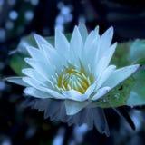 Красивый цветок белого лотоса стоковое фото rf