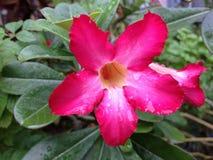 Красивый цветок весны с водой падений Стоковое Изображение RF