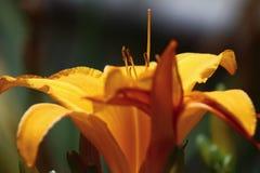 Красивый цветок в Калифорнии Стоковая Фотография