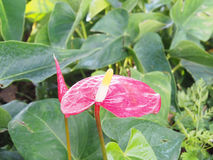Красивый цветок в саде, селективный фокус spadix Стоковые Изображения RF