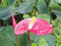 Красивый цветок в саде, селективный фокус spadix Стоковые Фотографии RF