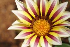 Красивый цветок в севере Таиланда Стоковые Фото