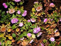 Красивый цветок в Gheorgheni Стоковое Изображение RF