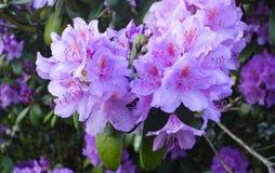Красивый цветок гераниума стоковые изображения