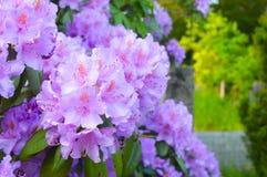 Красивый цветок гераниума стоковое фото rf