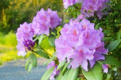 Красивый цветок гераниума стоковая фотография