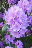 Красивый цветок гераниума стоковые изображения rf