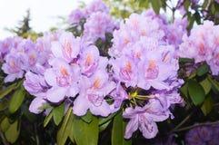 Красивый цветок гераниума стоковое изображение rf