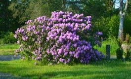 Красивый цветок гераниума стоковые фото