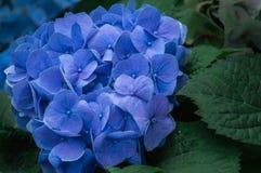 Красивый цветок гортензии зацветает в саде Стоковая Фотография