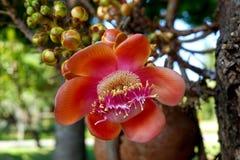Красивый цветок дерева пушечного ядра стоковые фотографии rf