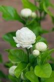 Красивый цветок жасмина с листьями Стоковая Фотография