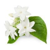 Красивый цветок жасмина Стоковая Фотография