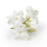 Красивый цветок жасмина Стоковое фото RF