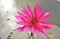 Красивый цветок лилии красной воды Стоковые Изображения RF