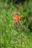 Красивый цветок лилии дня стоковое изображение