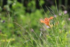 Красивый цветок лилии дня стоковая фотография