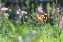 Красивый цветок лилии дня стоковое фото rf