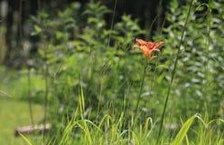 Красивый цветок лилии дня стоковые изображения rf