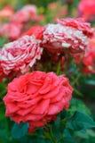 Красивый цветок красного цвета и белой розы Стоковая Фотография