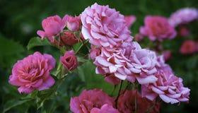 Красивый цветок красного цвета и белой розы Стоковые Изображения