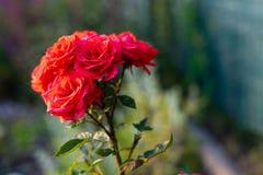 Красивый цветок красной розы ( стоковое изображение