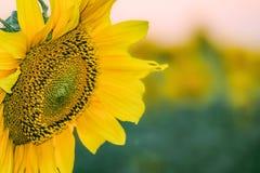 Красивый цветок крупного плана солнцецвета на запачканной предпосылке завода Стоковое фото RF