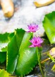 Красивый цветок лотоса, зацветая в восходе солнца Стоковое Изображение