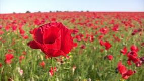 Красивый цветок мака акции видеоматериалы