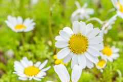Красивый цветок Маргарет в саде стоковые изображения rf