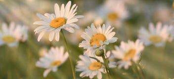 Красивый цветок маргаритки весны в луге Стоковые Изображения