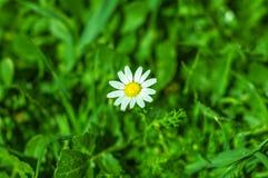 Красивый цветок маргаритки в траве Стоковое фото RF