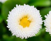 Красивый цветок маргаритки маргаритки зацветая в саде Стоковое Изображение RF