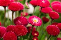 Красивый цветок маргаритки маргаритки зацветая в саде Стоковые Фото