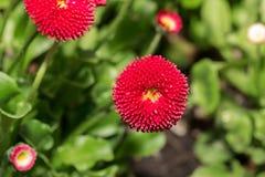 Красивый цветок маргаритки маргаритки зацветая в саде Стоковая Фотография RF