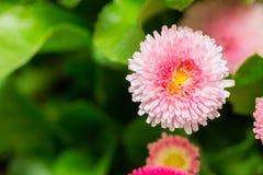 Красивый цветок маргаритки маргаритки зацветая в саде Стоковые Изображения