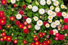 Красивый цветок маргаритки маргаритки зацветая в саде Стоковая Фотография