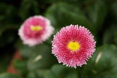 Красивый цветок маргаритки Стоковое Изображение