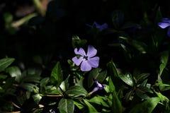 Красивый цветок несовершеннолетнего барвинка Стоковые Изображения RF