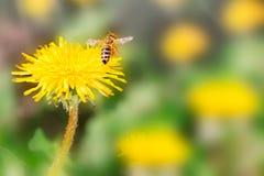 Красивый цветок одуванчика на луге весны желтом и макрос летая шмеля на мягкой расплывчатой салатовой предпосылке Концепция горяч стоковые изображения