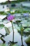 Красивый цветок лотоса в бассейне Стоковое фото RF