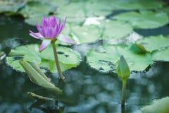 Красивый цветок лотоса в бассейне Стоковое Изображение