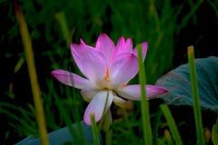 Красивый цветок лотоса в пасмурном дне Стоковые Изображения