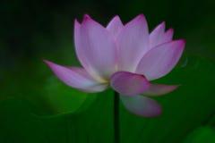 Красивый цветок лотоса цветения в временени стоковые фотографии rf