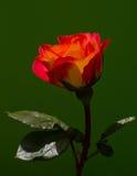 Красивый цветок одна из самых лучших тварей природы Стоковое Изображение