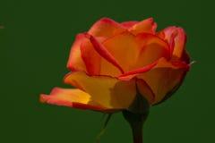 Красивый цветок одна из самых лучших тварей природы Стоковая Фотография