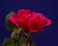 Красивый цветок одна из самых лучших тварей природы Стоковое Изображение RF