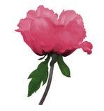 Красивый цветок пинка arborea Paeonia завода (пиона дерева) с стержнем и листья с влиянием чертежа акварели изолированного дальше Стоковые Фото