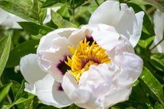 Красивый цветок похожего на дерев пиона в саде лета стоковые изображения rf